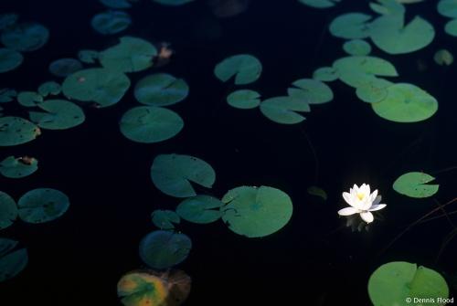 Sunlit Lily