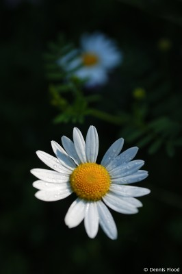 Early Morning Daisy