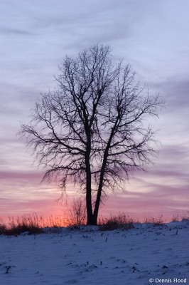 Oak Tree at Dusk
