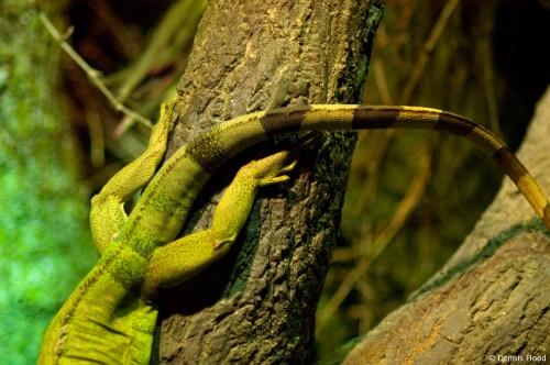 Upside Down Iguana