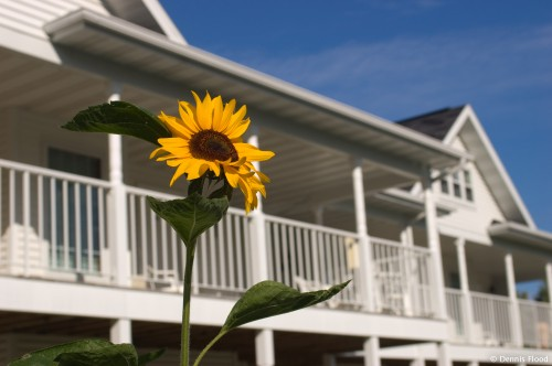Sunflower by a White Building