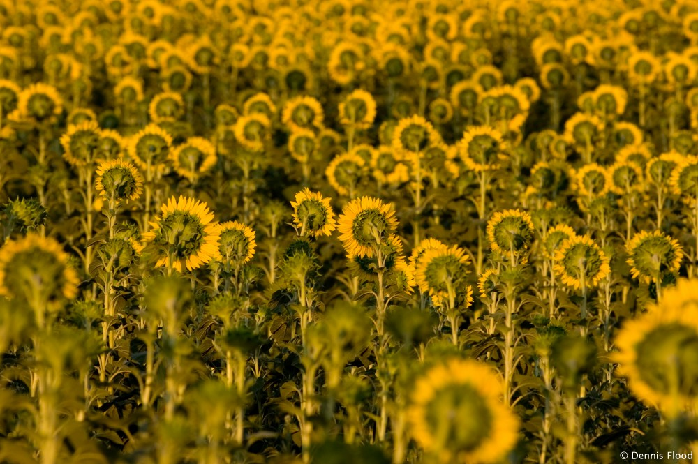 Shy Sunflowers