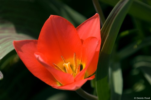 Blooming Red Tulip