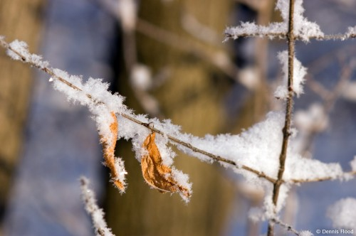 Heavily Frosted Twig