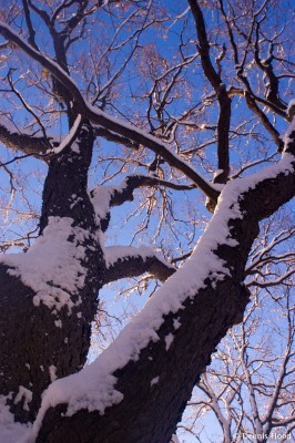 Looking Up at a Snowy Oak
