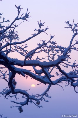 Oak Tree at Winter Sunrise