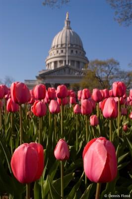 Pink Wisconsin Tulips
