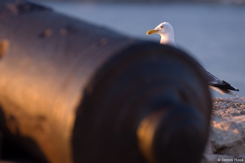 Seagull Behind a Cannon