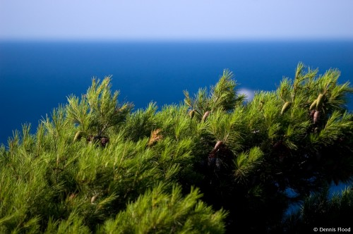 Seaside Evergreen Tree