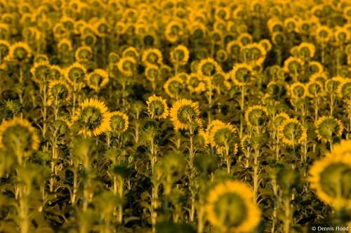Shy Sunflowers