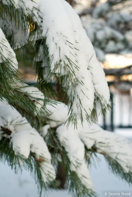 Snow-Covered Evergreen Tree