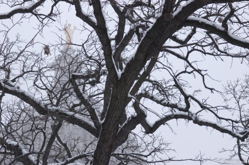 Snowy Oak at Capitol Square