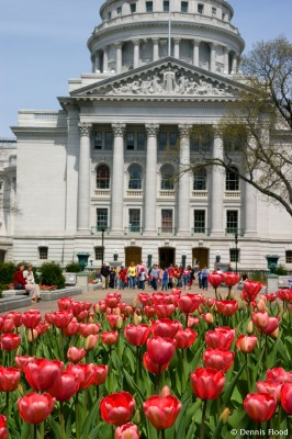 State Capitol Tulips