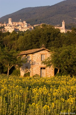 Sunflowers Near Assisi