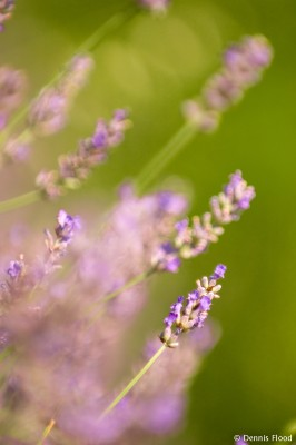 Wild Lavender Plants