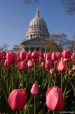 Wisconsin Tulips