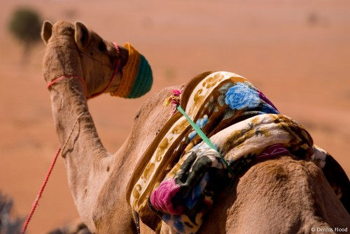 One Hump Camel