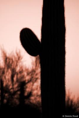 Saguaro Cactus at Dusk