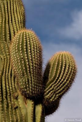 Saguaro Cactus Prickles