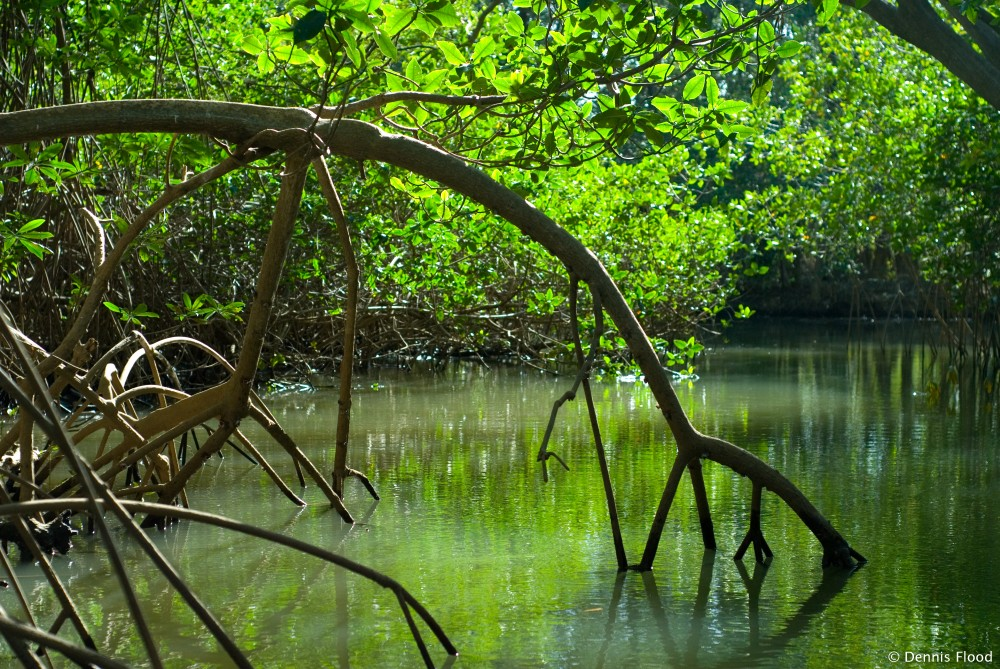 Mangrove Reflections