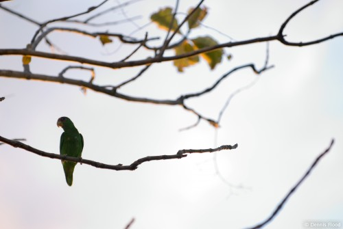 Resting Green Parrot