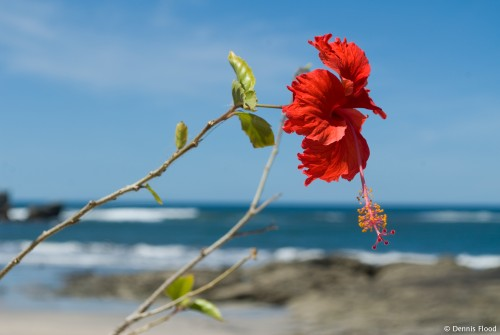 Seaside Red Hibiscus