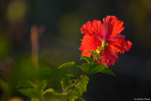 Shy Red Hibiscus
