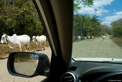 White Cattle on the Road