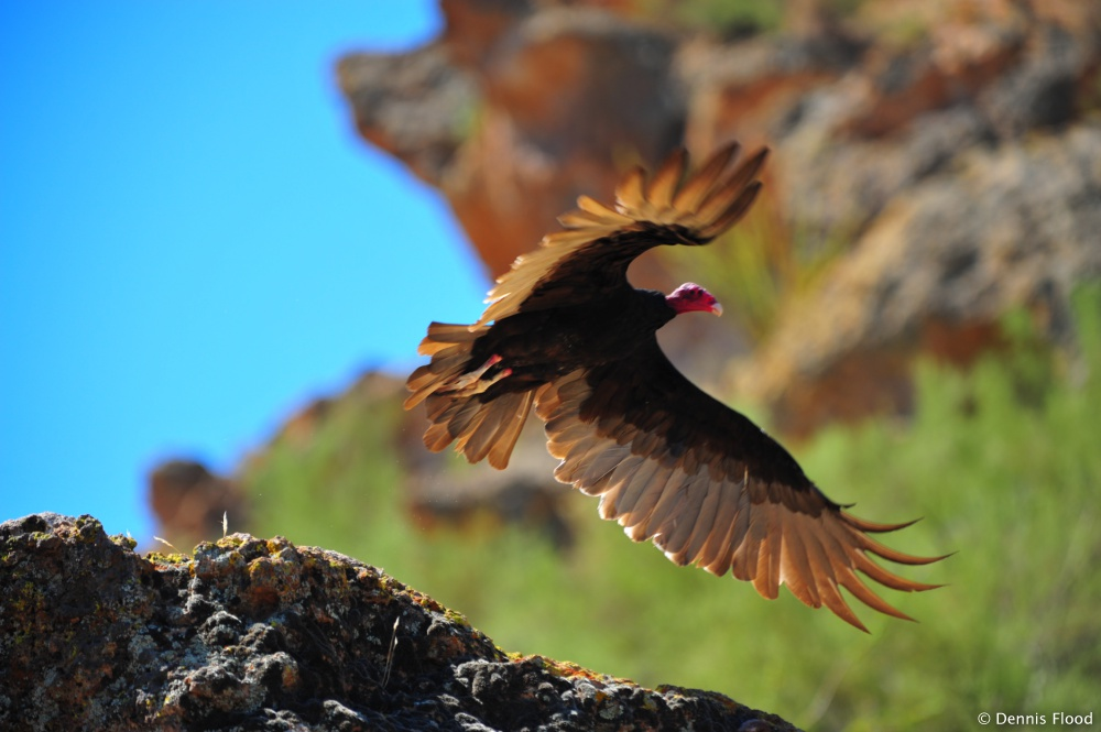 Turkey Vulture Takes Flight