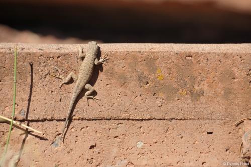 Colorado National Monument Lizard
