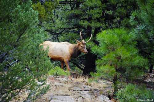 Grand Canyon Bull Elk