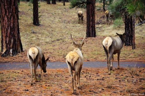 Grand Canyon Elk