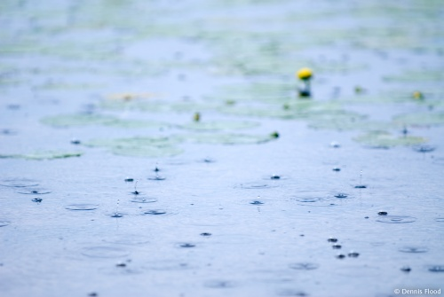 Lily Pad Rain