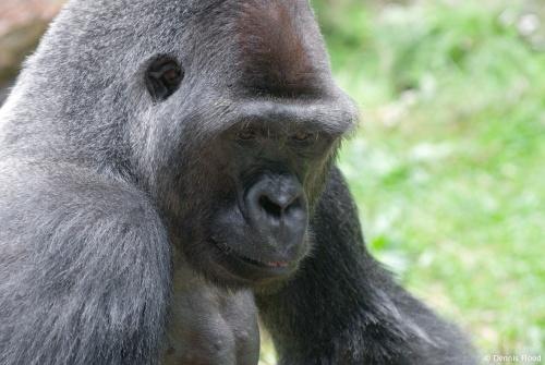 Quiet Gorilla